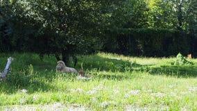 Leeuw en leeuwinslaap het liggen stock footage