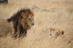Leeuw en leeuwintribune - weg Royalty-vrije Stock Afbeelding