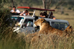 Leeuw en toeristen Stock Fotografie