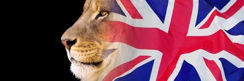 Leeuw en Union Jack stock afbeeldingen