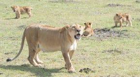 Leeuw en welpen royalty-vrije stock foto's