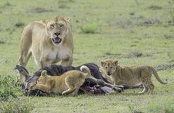 Leeuw en Welpen die voor voedsel jagen Stock Afbeelding