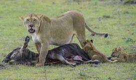 Leeuw en Welpen die voor voedsel jagen Stock Afbeeldingen