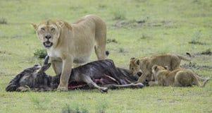 Leeuw en Welpen die voor voedsel jagen Royalty-vrije Stock Foto