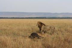 Leeuw en zijn doden Stock Afbeeldingen