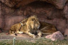 Leeuw en zijn Leeuwin Stock Fotografie