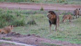 Leeuw en zijn trots De leeuw onderzoekt het grondgebied van de trots stock videobeelden