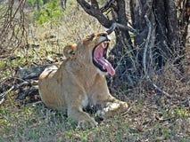 Leeuw geeuw stock fotografie