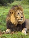 Leeuw geroepen Nossob Royalty-vrije Stock Afbeelding