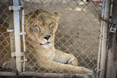 Leeuw in gevangenschap? stock fotografie
