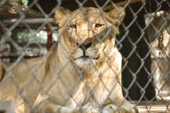 Leeuw in gevangenschap? royalty-vrije stock afbeelding