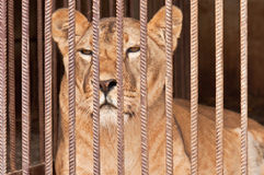 Leeuw in gevangenschap? royalty-vrije stock afbeeldingen