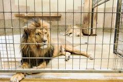 Leeuw in gevangenschap? stock afbeeldingen