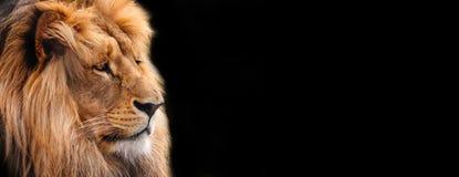 Leeuw Grafisch ontwerp, etiket met een close-up van een leeuw royalty-vrije stock foto