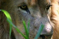 Leeuw in gras stock foto's