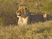 Leeuw in Gras Royalty-vrije Stock Foto