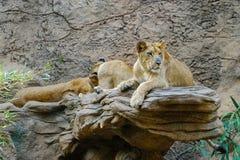 Leeuw, groep leeuwen die op steen leggen Royalty-vrije Stock Foto's
