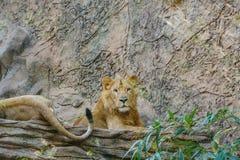 Leeuw, groep leeuwen die op steen leggen Stock Foto's