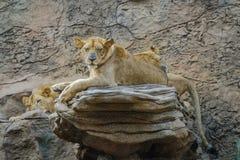 Leeuw, groep leeuwen die op steen leggen Stock Foto