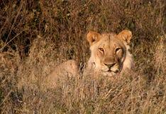 Leeuw in het gras Stock Afbeeldingen