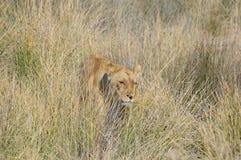 Leeuw in het gras Royalty-vrije Stock Foto