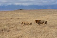 Leeuw het honeymooning in de Ngorongoro-Krater van Tanzania stock afbeelding