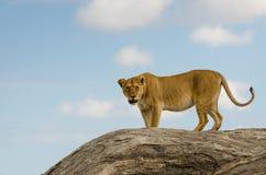 Leeuw, het Nationale Park van Serengeti Royalty-vrije Stock Afbeelding
