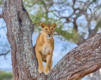 Leeuw, het Nationale Park van Tarangire, Tanzania, Afrika Royalty-vrije Stock Afbeeldingen