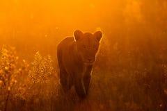 Leeuw in het park Royalty-vrije Stock Foto
