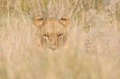 Leeuw het verbergen in het gras Stock Afbeelding