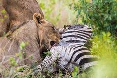 Leeuw het voeden op doden Zuid-Afrika Royalty-vrije Stock Afbeeldingen