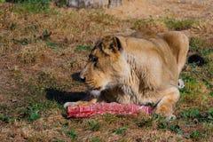 Leeuw het vrouwelijke eten Stock Foto