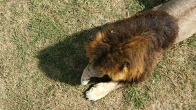 Leeuw in het zoölogische park stock videobeelden