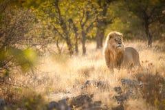 Leeuw in het zonsopganglicht, het Nationale Park van Etosha, Namibië royalty-vrije stock afbeelding