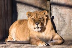 Leeuw in kooi Royalty-vrije Stock Afbeeldingen