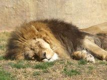 Leeuw (Leeuw Panthera) Royalty-vrije Stock Foto