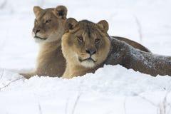 Leeuw/leo Panthera Stock Afbeeldingen