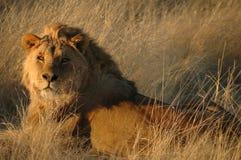Leeuw (leo Panthera) Royalty-vrije Stock Foto