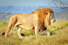 Leeuw in Lion Park, Zuid-Afrika Royalty-vrije Stock Foto's