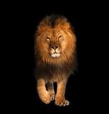 Leeuw lopen geïsoleerd op zwarte koning van dieren stock afbeelding