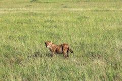 Leeuw in Maasai Mara, Kenia Stock Afbeeldingen