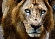 Leeuw met Boze Gezichts dichte omhooggaand stock afbeeldingen