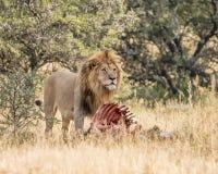 Leeuw met doden Royalty-vrije Stock Afbeelding