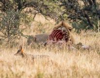 Leeuw met doden Stock Afbeelding