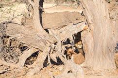Leeuw met doden Royalty-vrije Stock Foto