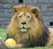 Leeuw met een bal Royalty-vrije Stock Afbeeldingen