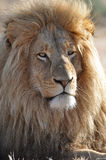 Leeuw met grote manen Royalty-vrije Stock Foto