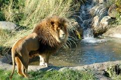 Leeuw met waterval stock fotografie