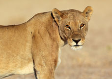 Leeuw met zonsopgangglans in haar ogen stock foto's
