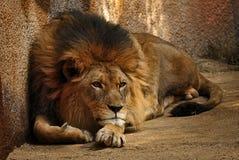 Leeuw Naar voren gebogen voor Actie Stock Foto